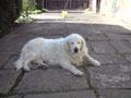 Sammy the golden retriever relaxing