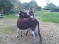 Pair of Donkeys in Southwell