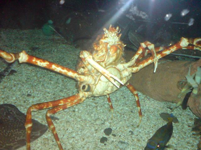 Spider Crab at Sea Life Centre, Birmingham