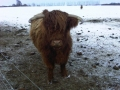 Highland Cattle in Priors Marston