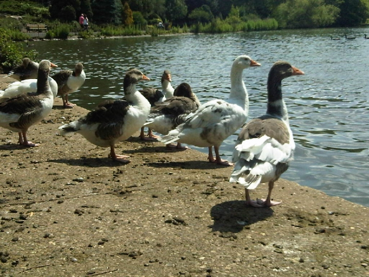 Geese at Abbey Park, Leicester