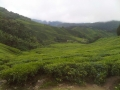 BOH Tea Plantation, Cameron Highlands