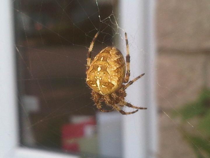 Big Furry Spider Chillin