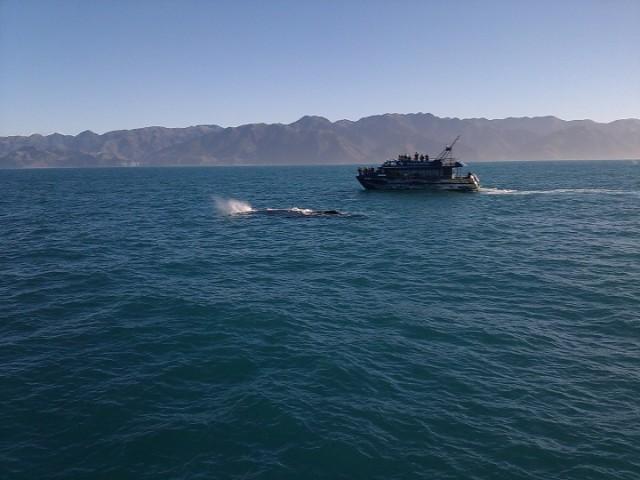 Sperm Whale Sighting, Kaikoura, New Zealand