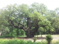 Major Oak, Sherwood Forest, Nottinghamshire